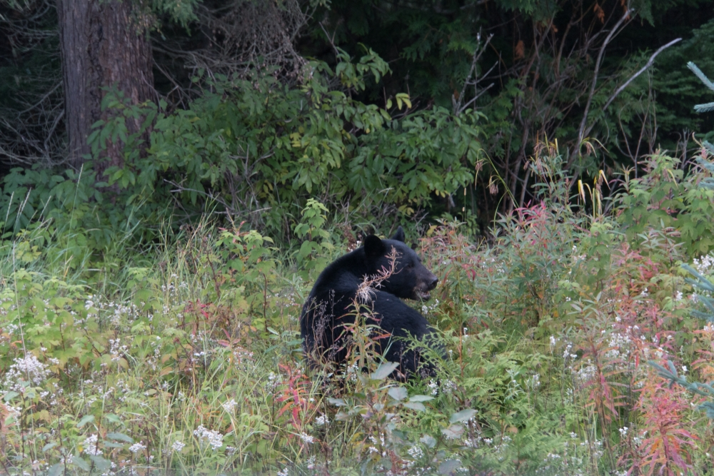 Black Bear Hunts Minnesota